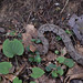 krandor posted a photo:	We saw a Copperhead on the way to the Natural Bridge on the Original Trail