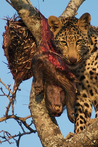 Leopard on porcupine kill
