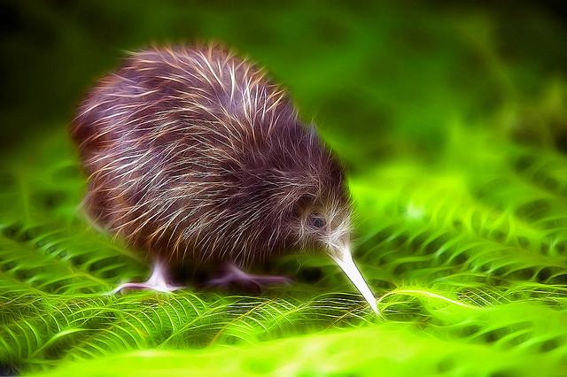 Baby Kiwi | Flickr - Photo Sharing!