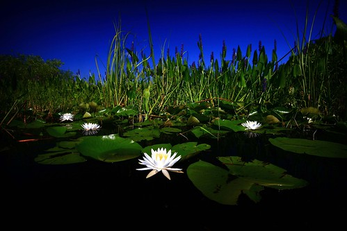 flowers nature water landscape waterlily lily marsh lilypads inverness floralcity