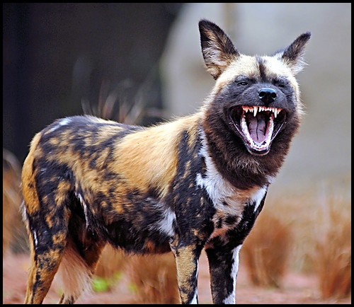 Painted Dog showing teeth