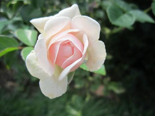 <em>Rosa</em> 'Awakening'