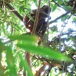 Golden Bamboo Lemur, Ranomafana