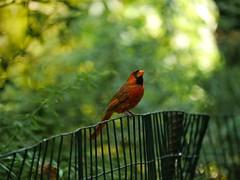 animal, perching bird, branch, nature, fauna, cardinal, beak, bird, wildlife,