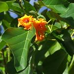 Cordia subcordata leaf and flower