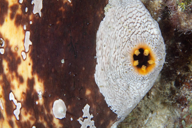 Sea Cucumber Anus