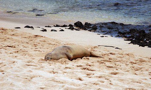 Poipu Monk Seal - Endangered