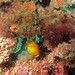 Small photo of Yellow Boxfish (Ostracion cubicus) juvenile