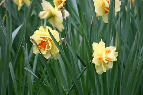 Narcis 'Tahiti'