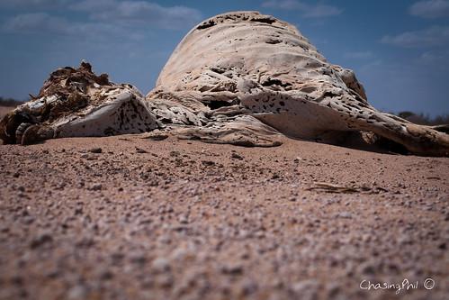 rotting dead cow sand nikon desert kenya drought famine 2011 d90 wajir