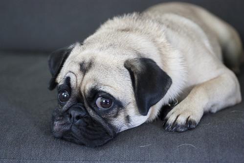 Koko the pug