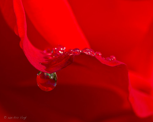 flowers red summer macro water rose portland waterdrop sunburst pdx rosegarden washingtonpark extensiontubes internationalrosetestgarden