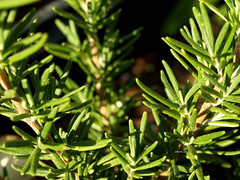 evergreen, branch, leaf, tree, rosemary, plant, spruce,