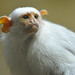 Silvery Marmoset by Truus & Zoo