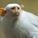 Silvery Marmoset by Truus & Zoo