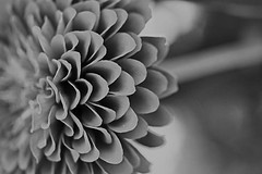 Zinnia - Black and White