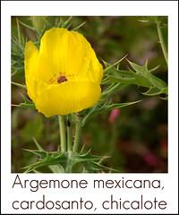 cardosanto, chicalote o Argemone mexicana