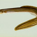 Small photo of American eel