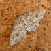 Small photo of Engrailed. 2nd generation. Ectropis bistortata