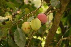 shrub(0.0), acerola(0.0), flower(0.0), hardy kiwi(0.0), plant(0.0), produce(0.0), food(0.0), evergreen(1.0), branch(1.0), damson(1.0), fruit(1.0),