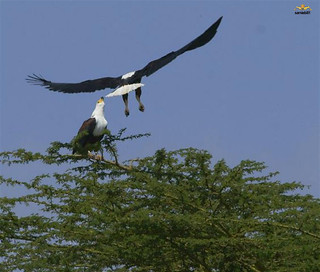 The African Fish Eagles of Lake Naivasha, Kenya