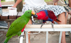 animal, lovebird, macaw, parrot, pet, fauna, parakeet, lorikeet, common pet parakeet, beak, bird,