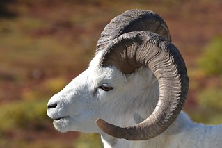 Dall Sheep in Denali - Animal - Wildlife - Alaska