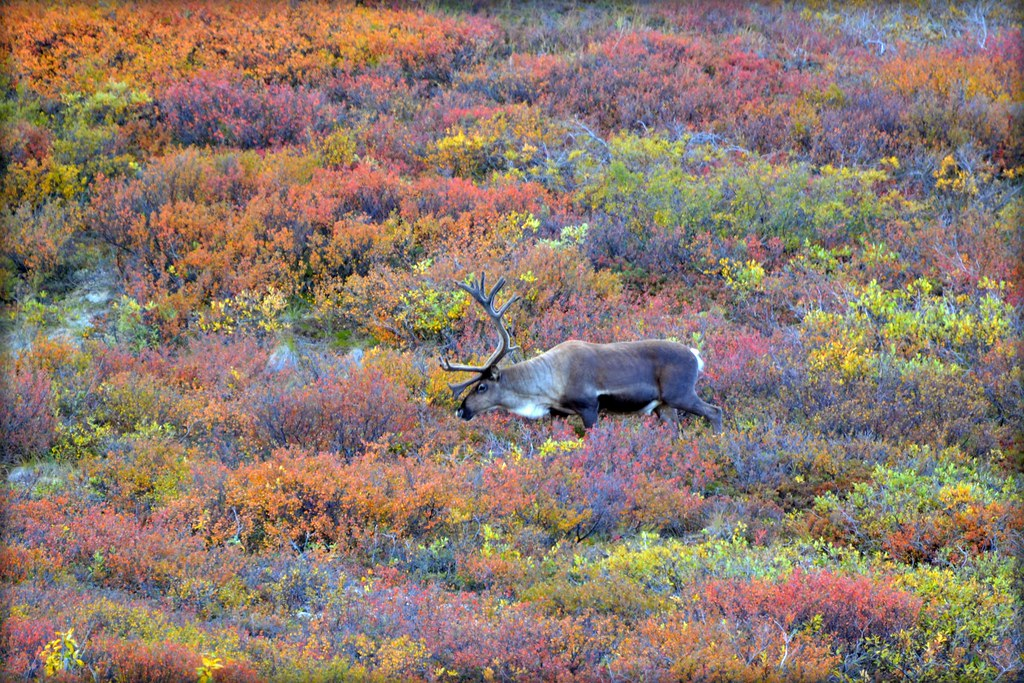 Caribou in Autumn - Animal - Wildlife - Alaska