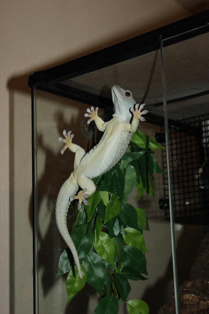Powder Blue Tokay Gecko 13256   BAIDATA