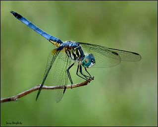 I am.... Blue Dasher!