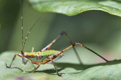 scuddersbushkatydids katydidnymph genusscudderia photosbydavewendelken