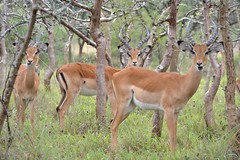 animal, prairie, antelope, springbok, mammal, fauna, impala, grassland, gazelle, wildlife,