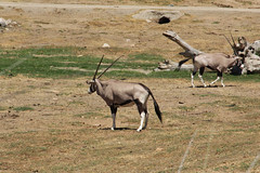 adventure(0.0), springbok(0.0), white-tailed deer(0.0), kudu(0.0), pronghorn(0.0), animal(1.0), antelope(1.0), gemsbok(1.0), mammal(1.0), horn(1.0), common eland(1.0), fauna(1.0), oryx(1.0), savanna(1.0), safari(1.0), gazelle(1.0), wildlife(1.0),