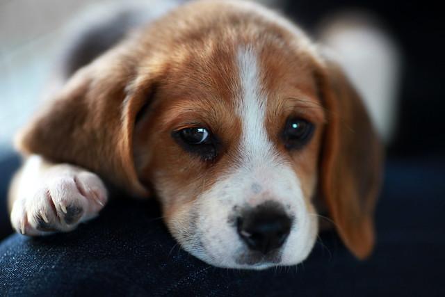 Gatsby Le Magnifique Beagle Flickr Photo Sharing