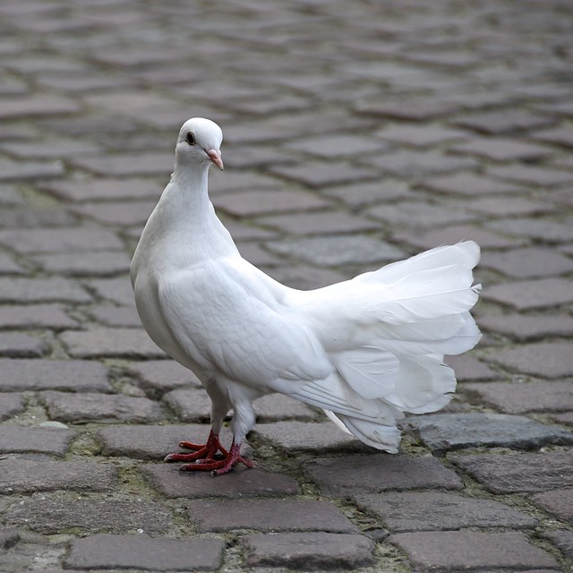 A curious dove