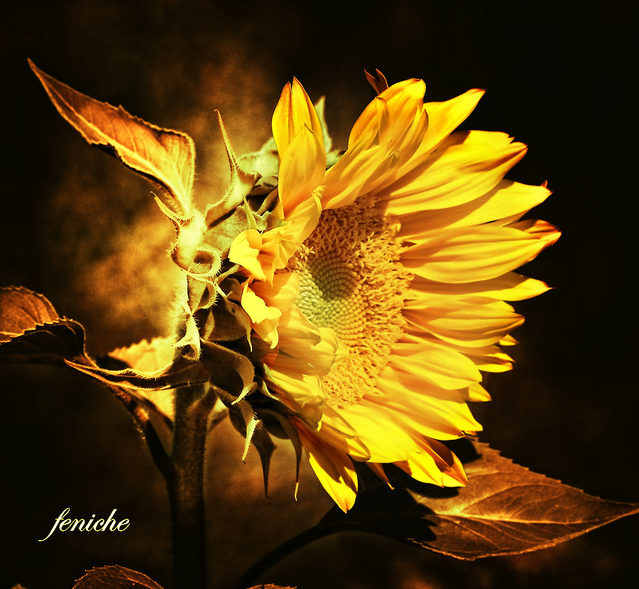 girasol dorado----golden sunflower