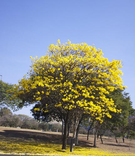 flowers flores flower de blossom flor tabebuia ipêamarelo tabebuiachrysotricha blossomtrees ochracea ipêamarelotabebuiachrysotrichaochraceaárvoreárvorestreetreesárbolarbolarbolesnaturezanaturalezanaturecolorcolorscorescorcoloridoamarelacéubrasíliadfbrasilbrazil