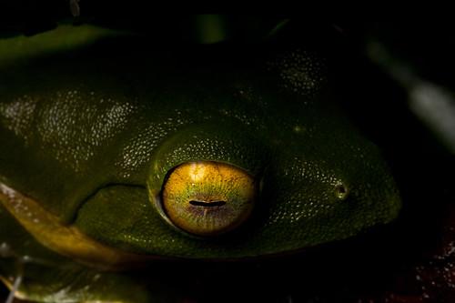 Malabar Gliding Frog by Brainstuck