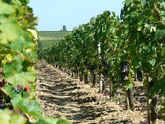 Wine grapes of the Medoc (France 2011)