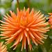 Dahlia cultivar by Eric Hunt.