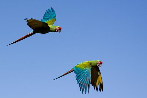 Vol de perroquets