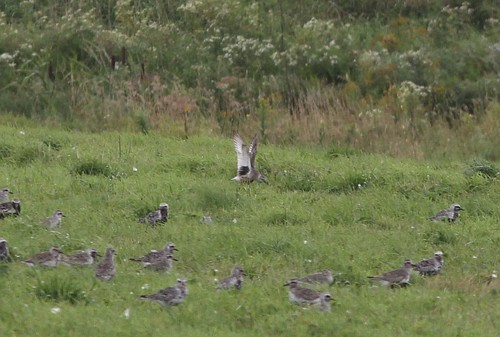 new black brunswick stuart hybrid plover bellied tingley memramcook abnormally plumaged