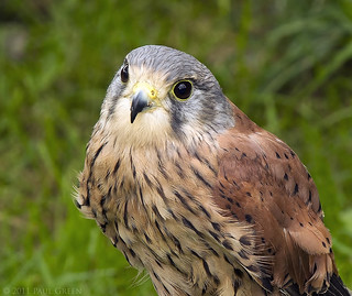 Kestrel Male-Blagdon water gardens.