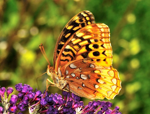 Fritillary Butterfly on Butterfly Bush