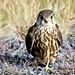 Smyrill (Falco columbarius) Merlin