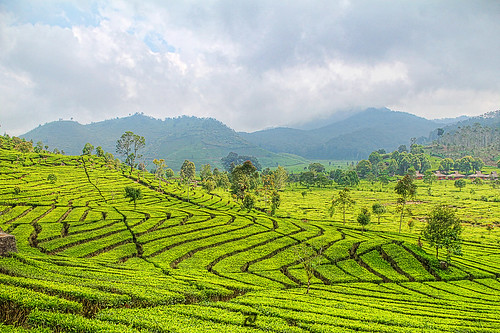 Mount Patuha Tea Plantation E#102