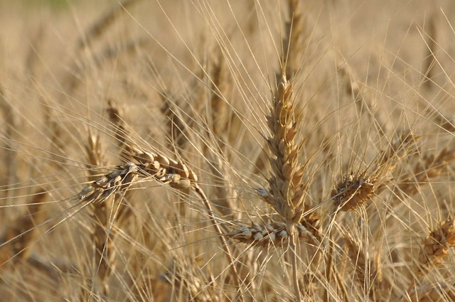 hard red winter wheat, nearly ripe | Flickr - Photo Sharing!