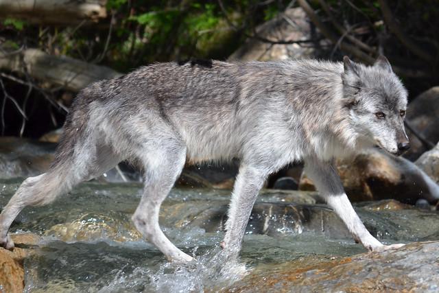 Torqu ; Grey Wolf 6034313578_5a9e70ac3c_z