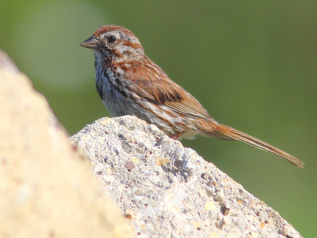 Song Sparrow DPP 20110815