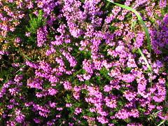 annual plant, shrub, flower, plant, breckland thyme, herb, wildflower,